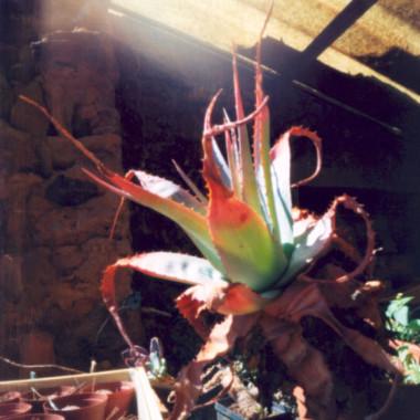 Aloe, 2005